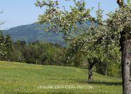 alte Obstbäume prägen die Landschaft