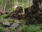Waldwildnis unterhalb des Lusengipfels
