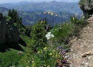 Alpenflora im Nagelfluhgebiet